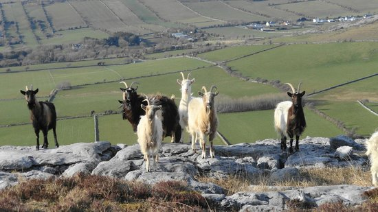 Cappabhaile House : feral goats on Turlough