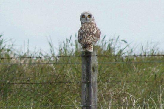 Kettletoft, UK: A Sanday Owl