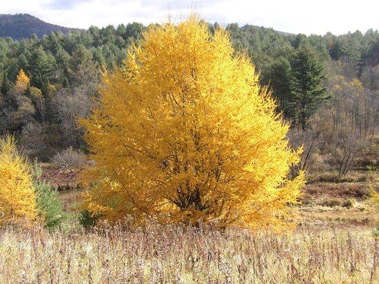 Marshfield Inn and Motel : Our big tamarack tree in Autumn.
