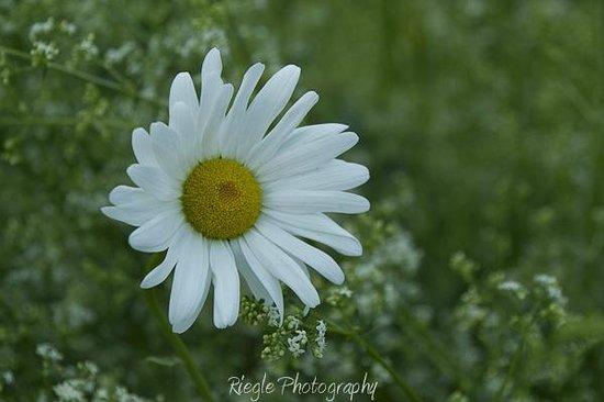 Morning Glory Inn: Wild daisies