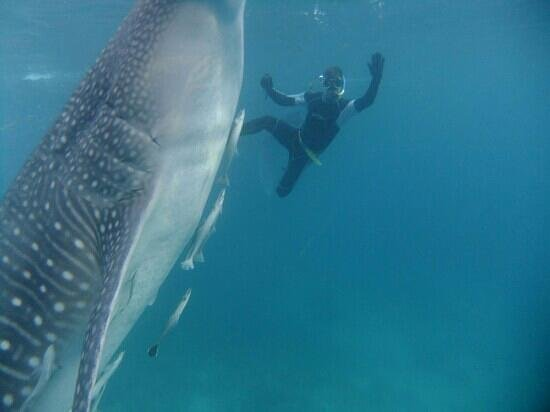SiDive : whaleshark with Simon