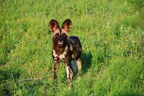 Mosetlha Bush Camp & Eco Lodge: Wild dog