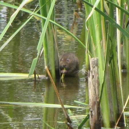Rainham Marshes: A water vole at Rainham RSPB