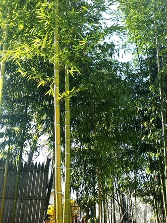 Beacon Bamboo Forest: Bamboo in the yard