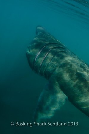Basking Shark Scotland - Day Tours