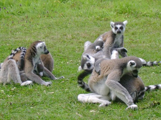 Le Parc des Félins : Lemurs waiting to be fed ...