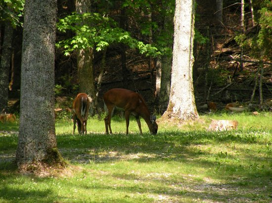 Cades Cove Visitor Center : Some of the deer we found.