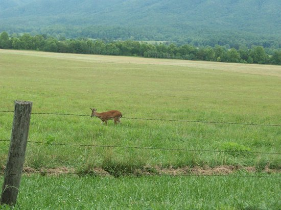 Cades Cove Visitor Center : Some more deer along the way.