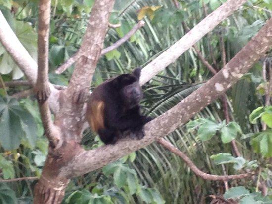 Villa Perezoso : Howler monkey just off rear deck