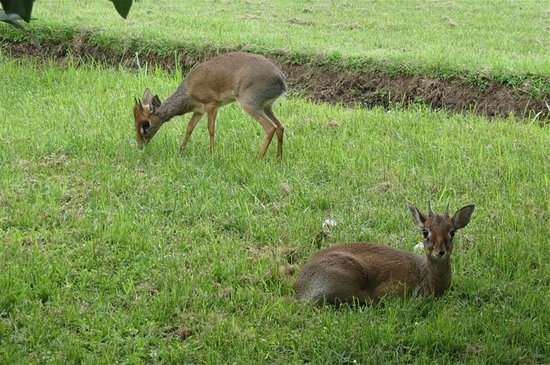 Arumeru River Lodge: Dik-dik roaming the grounds