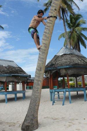 Falealupo Beach Fales: Climbing coconut tree