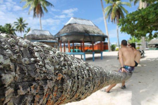 Falealupo Beach Fales: horizontal coconut tree!