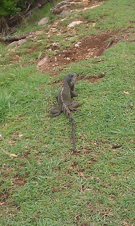 Auberge de la Vieille Tour: Resident Iguanas