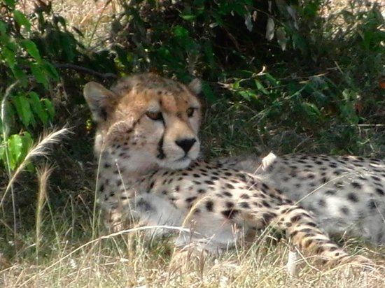 Richard's Forest Camp: Cheetah in the Masai Mara