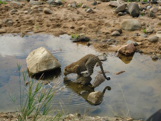 Simbavati River Lodge: Leopard sighting #5 we were so lucky!
