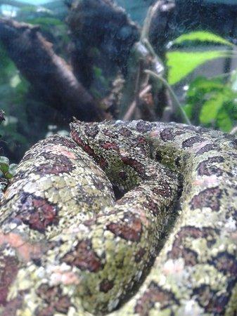 Serpentario: eye-lash viper, Look you can see her eye-lashes!
