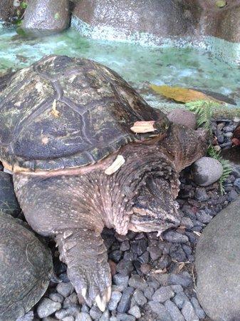 Serpentario : snapping turtle