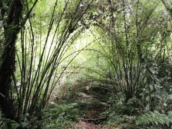 High altitude bamboo forest - Picture of Quetzal Trail ...