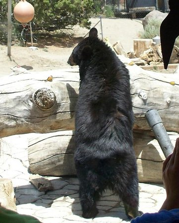 Animal Ark: Gracie the Black Bear Hunting for Strawberries