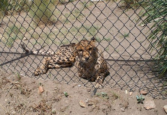 Animal Ark: Zulu(?) Cheetah relaxing inches away