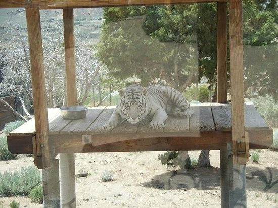 Animal Ark: Khan the White Tiger Lounging