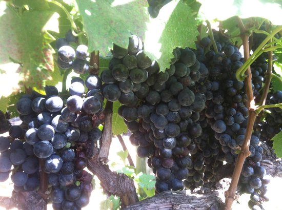 Helenbach Winehause & Candle Boutique: Grapes Everywhere around Helen, 18 Vineyards!