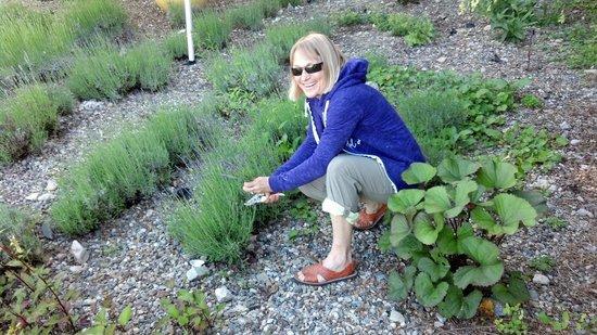 Fort Hill Farms : cutting fresh lavender