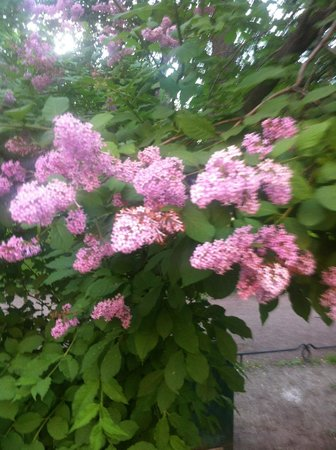 Peter's Walking Tour: lilacs everywhere and Zhenya found them all!