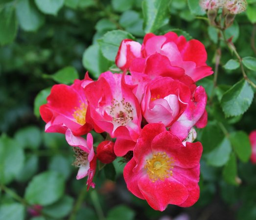 Peninsula Park and Rose Gardens: Peak season for roses