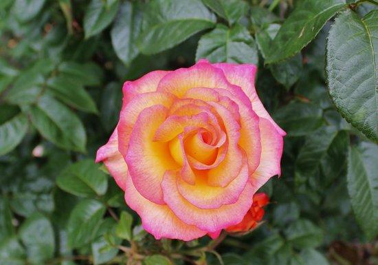 Peninsula Park and Rose Gardens : a beautiful hybrid