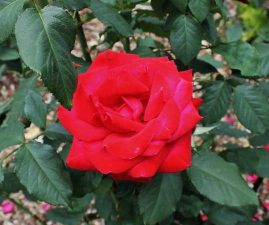 Peninsula Park and Rose Gardens : Me thinks the red are the best