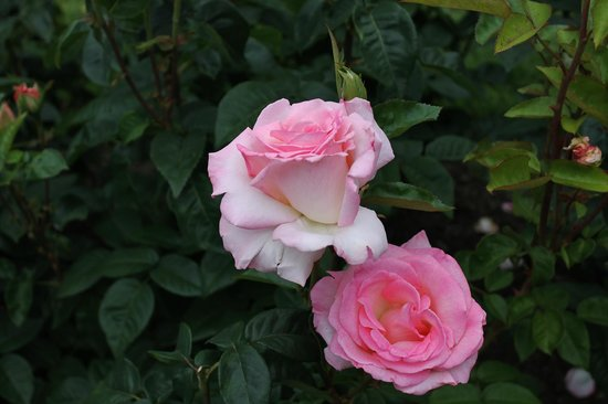 Peninsula Park and Rose Gardens : Pick rose for a blue lady