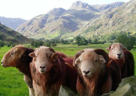 Herdy: Herdwick sheep