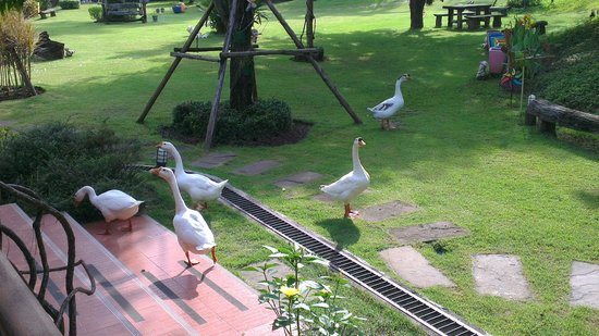 Watermill Resort: the geese