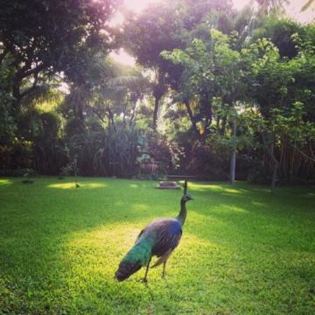 Villa Boreh Beach Resort and Spa Hotel: peacocks in lushness