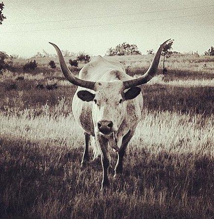 The Hideaway Ranch & Retreat: Longhorns!!