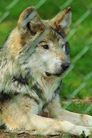 Wolf Haven International: Handsome!
