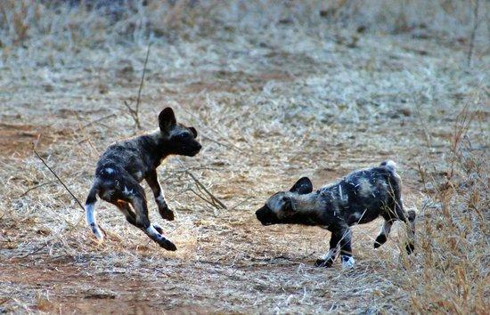 Waterbuck Game Lodge: Wild Dogs