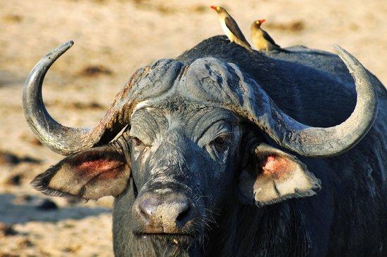 Waterbuck Game Lodge: Water Buffalo