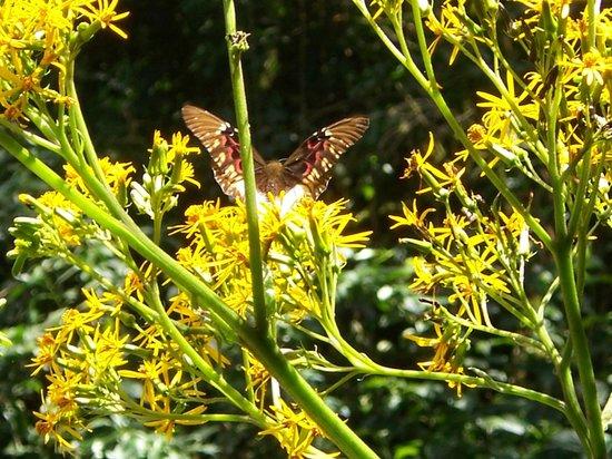 Selva Verde Lodge: Verslaafde vlinder