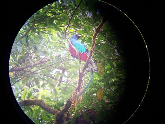 Selva Verde Lodge: Quetzal (slangevogel )