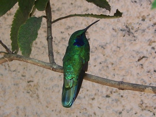 Selva Verde Lodge: Kolibrie