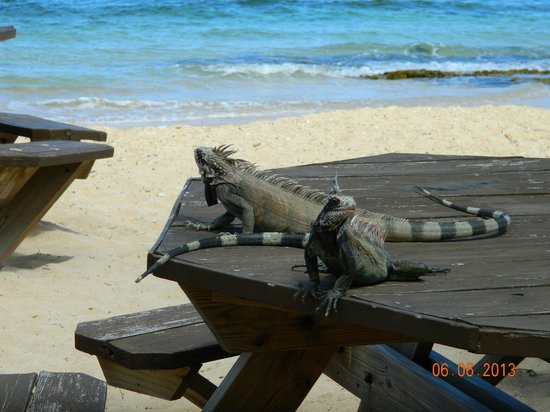 Bolongo Bay Beach Resort: iguanas!