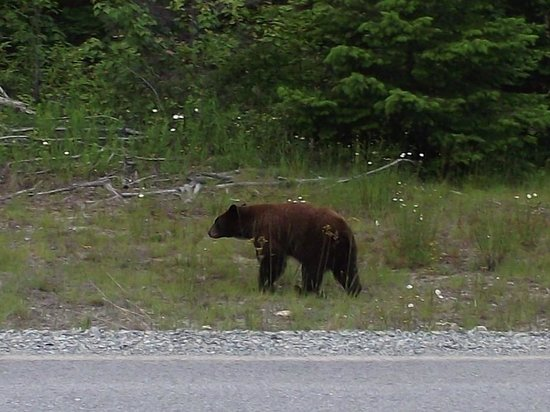 Tweedsmuir Park Lodge: lookie lookie - a black bear