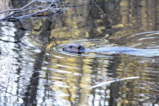 Spencer Pond Camps: Fearless beaver seen while we were in the back-country
