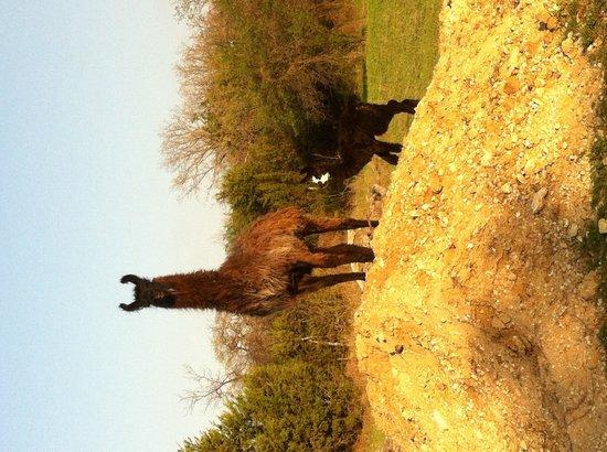The Hideaway Ranch & Retreat : Llama family