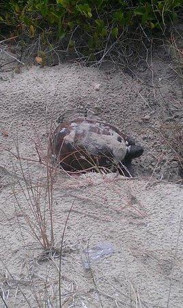 Beachers Lodge: Turtle on the dunes.