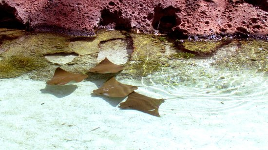 Marine Habitat at Atlantis: rayas