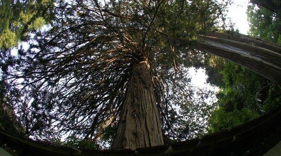 Tokoin Seisuiji Temple: 杉の巨木