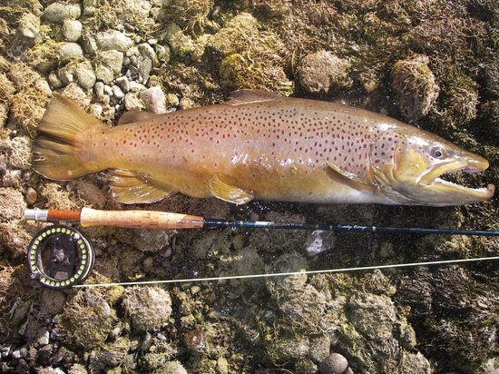 Teton Valley Lodge: 25 inch brown trout
